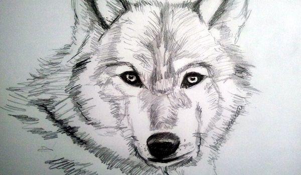 dibujo de lobo a lapiz