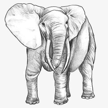 dibujo de un elefante a lapiz