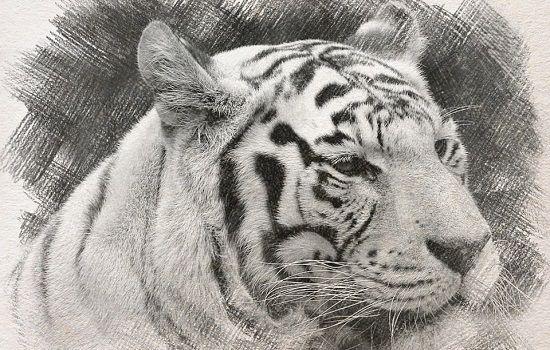 dibujos de tigre a lapiz