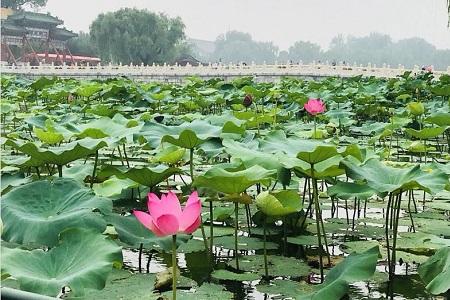 Dónde crece la flor de loto