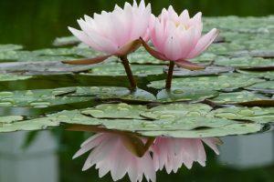 Descubre el significado de la flor de loto