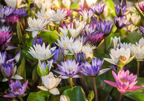 Semillas y artículos con flores de loto